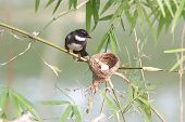 stock photo of fantail  - Pied Fantail Rhipidura javanica bird in thailand - JPG
