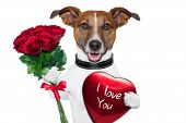 stock photo of dog-rose  - valentine dog with a bunch of red roses and a red present box - JPG