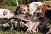 foto of foxhound  - Foxhounds after parforce hunt being rewarded with inwards this is called curee - JPG