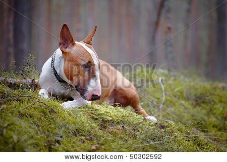 Bull Terrier Lies In The Wood
