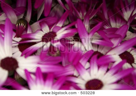 Purple - White Flower Cluster