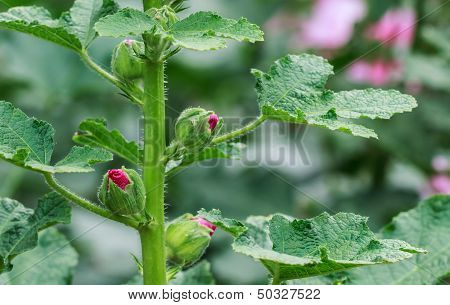 Hollyhock Flower Buds Blooming In The Garden, Closeup