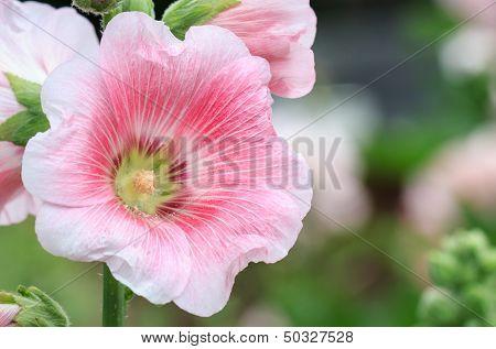 Pink Mallow In Blurred Background, Hollyhock, Alcea Rosea, Closeup