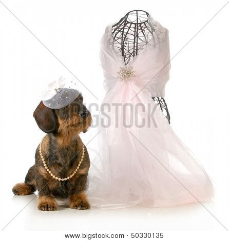 female dog - wirehaired dachshund sitting beside dressmakers mannequin isolated on white background