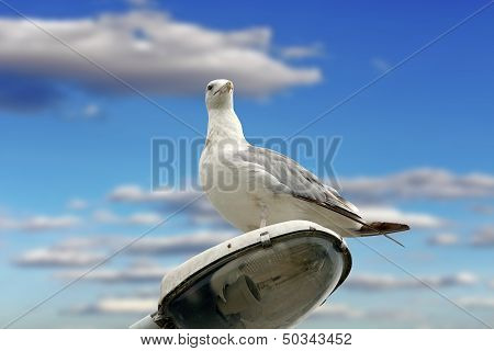 Beautiful Gull Over Cloudy Sky