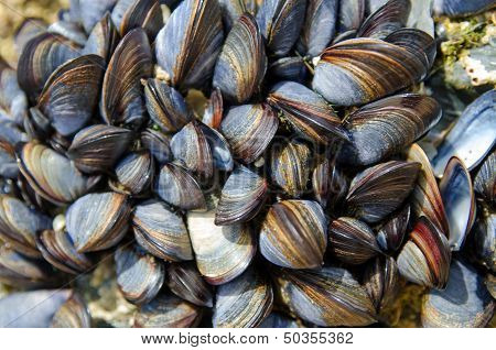A colony of sea mussels