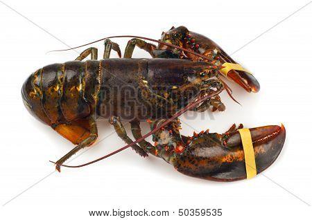 Living Lobster