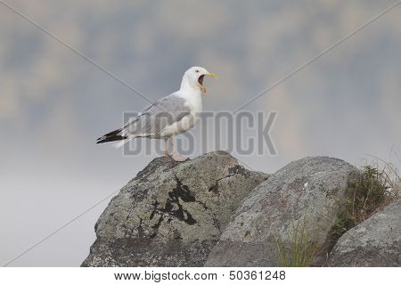 Herrring Gull Perched On A Large Rock