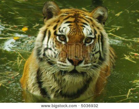 Tiger Plunge