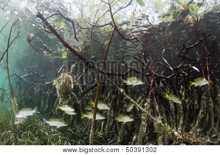 Fish in Mangroves