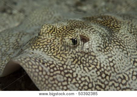 Yellow Stingray Close-Up