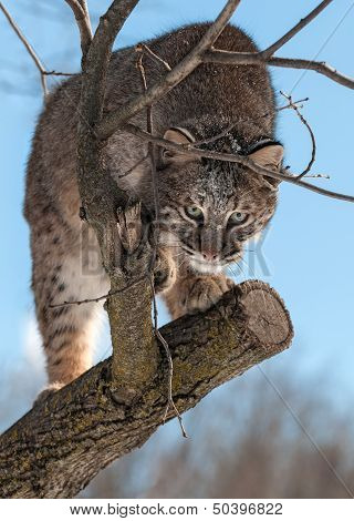 Bobcat (Lynx rufus) Stalks From Tree
