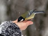 Titmouse Bird In Hand