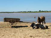 stock photo of zebu  - Malagasy Zebus having some rest not far from river bank - JPG