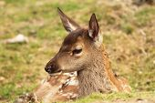 stock photo of cervus elaphus  - close up of a red deer calf  - JPG