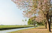 foto of lapacho  - Scenery Green Field With Pink Trumpet Blossom - JPG