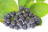 stock photo of aronia  - Ripe purple chokeberry  - JPG
