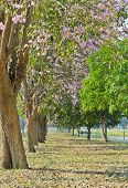 stock photo of lapacho  - Row Of Pink Trumpet Blossom In Bloom - JPG