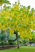 stock photo of cassia  - Cassia Fistula Or Golden Shower Tree In The Park - JPG
