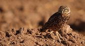 Burrowing Owl Looking Back