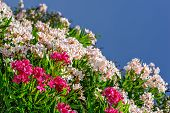 picture of oleander  - White and pink oleander flowers over blue sky - JPG