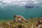 image of endangered species  - The hawksbill sea turtle is critically endangered; pictured here with a female snorkeller. Eco tourism may be part of the key to saving the species.