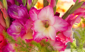 image of gladiola  - Close up of bouquet of pink gladiola blossom