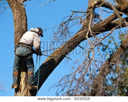 Arborist cutting damaged elm tree