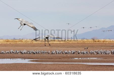 A Sandhill Crane Pair Glides Above Its Surivival Group