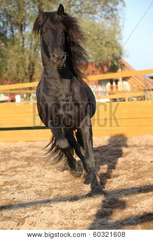 Nice Friesian Horse Working In Paddock