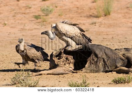 Vultures Fighting At Carcass For Domination Of The Food In Kalahari
