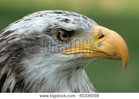 Head of a Female Bald Eagle