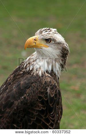 Female Eagle