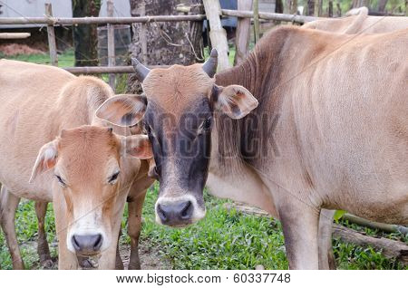 Asia Cow