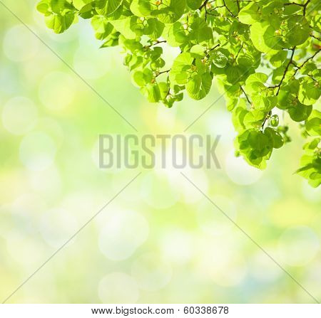 Fresh green leaves of Tilia  (Lime Trees) in spring.