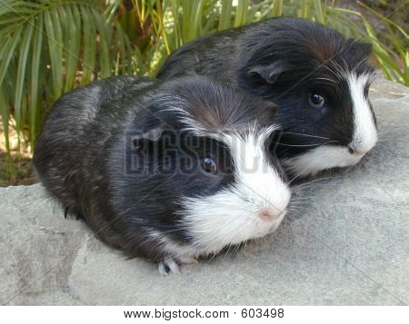 Twin Guinea Pigs