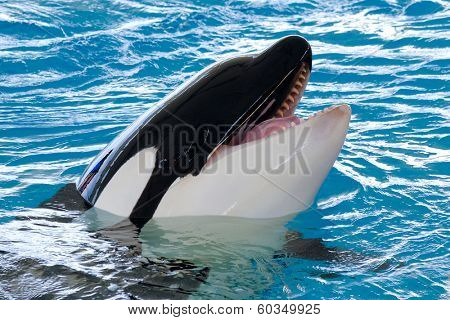 Killerwhale is smiling