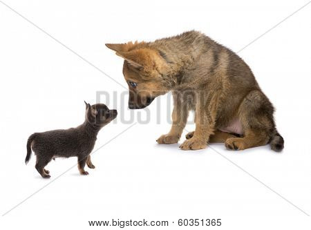German shepherd and chihuahua puppy meeting and looking surprised
