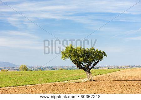 field with a tree, Plateau de Valensole, Provence, France