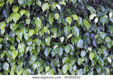Ficus Shrub Background