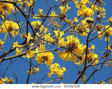 Araguaney tree in yellow flower in south america