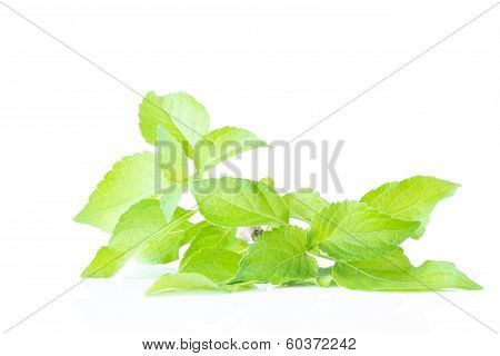 Fresh Peppermint On A White Background