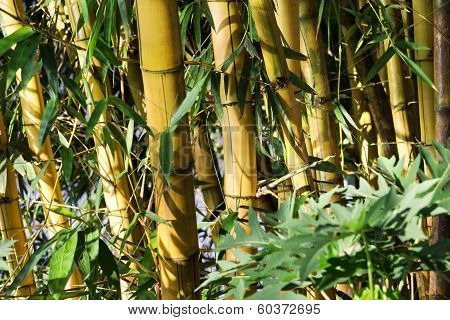 Bamboo Forest Asia