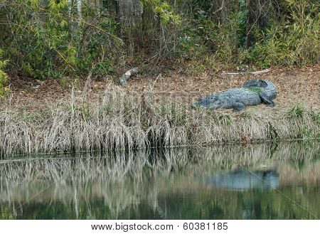 Alligator in the backyard