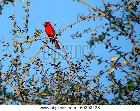 Colorful Cardinal