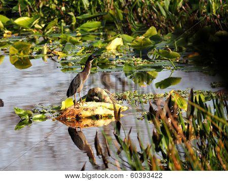 Green Heron in Marsh