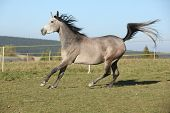 Gorgeous Arabian Horse Running On Autumn Pasturage