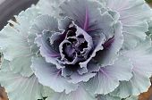 Close up head of cabbage