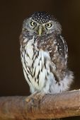 picture of owl eyes  - Portrait of a pearl - JPG