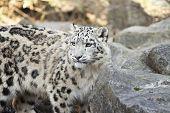 pic of snow-leopard  - Snow leopard - JPG